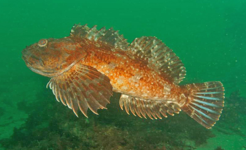 The Cabezon, Scorpaenichthys marmoratus